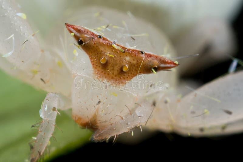 Cara de la araña blanca del cangrejo fotos de archivo libres de regalías