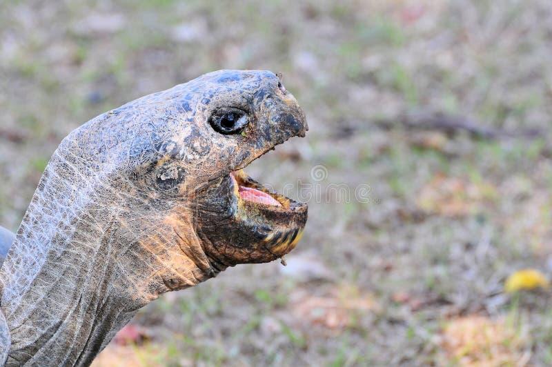 Cara de la tortuga de las Islas Gal3apagos imagen de archivo libre de regalías