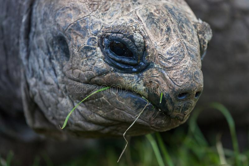 Cara de la tortuga gigante fotos de archivo