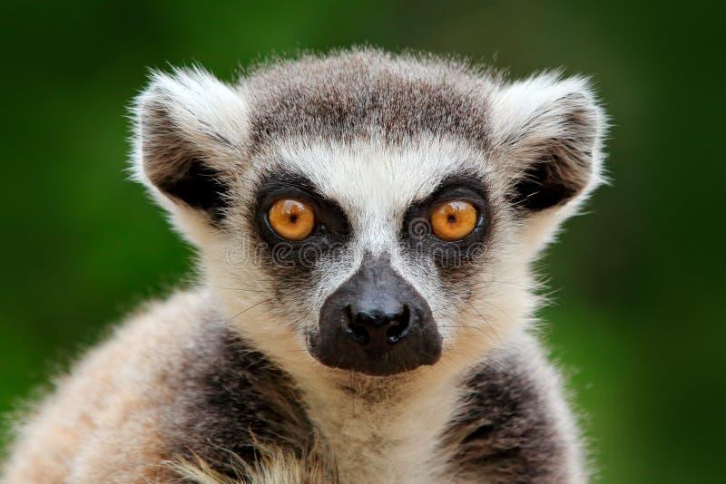 Cara de limão, retrato aproximado do macaco malgaxe Limur de ponta-cabeça, Lemur catta, com fundo verde Animais de imagem de stock royalty free