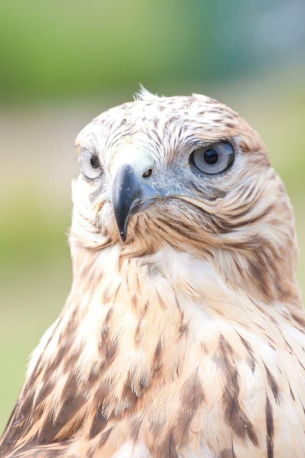 Cara de los halcones imagen de archivo