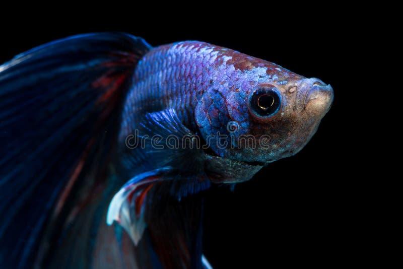 Cara de peixes de combate no fundo preto imagem de stock
