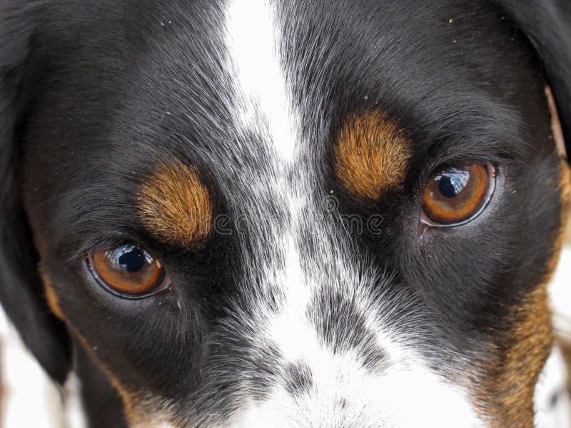 A cara de um cão tri colorido, close-up dos olhos fotografia de stock royalty free