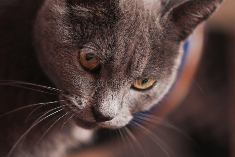 Cara de um gato Cile imagens de stock royalty free