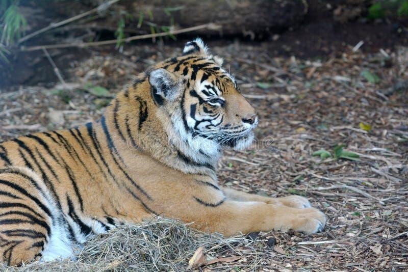 Cara de um tigre de Sumatran que encontra-se para baixo na terra imagens de stock