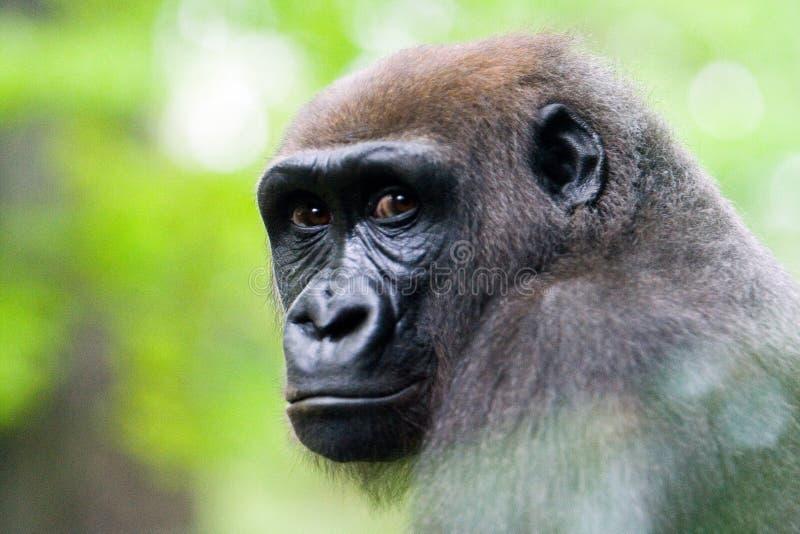 Cara de un gorila de Silverback. foto de archivo