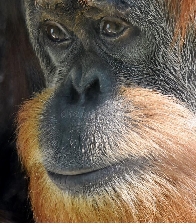 Cara de un orangután foto de archivo libre de regalías