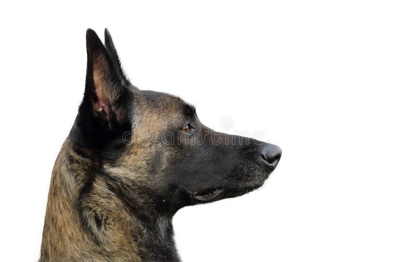 Cara de un perro de pastor belga de Malinois atento a las órdenes con una mirada animada y feliz imagen de archivo