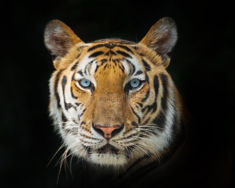 Cara de un tigre fotografía de archivo libre de regalías