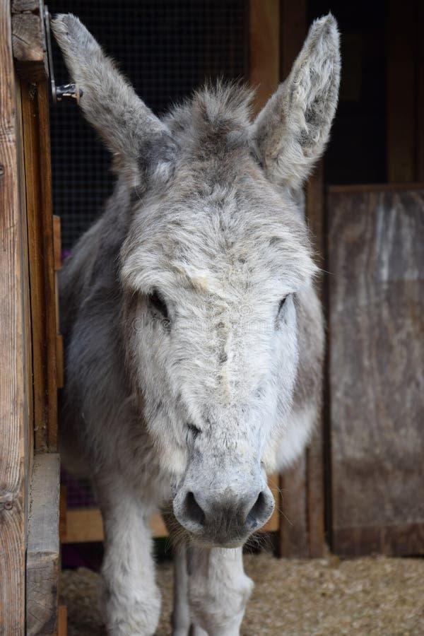 Cara del burro que se coloca en la yarda imagen de archivo libre de regalías