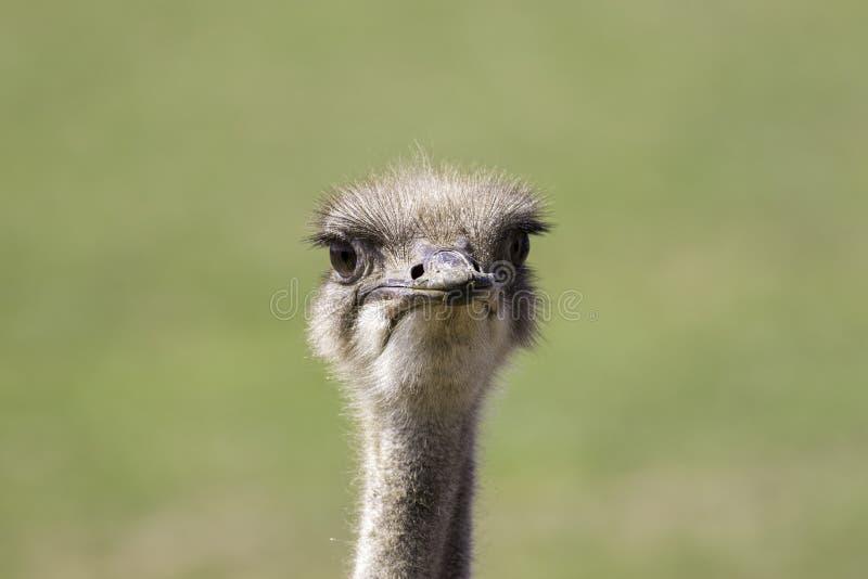 Cara del camelus del Struthio de la avestruz imágenes de archivo libres de regalías
