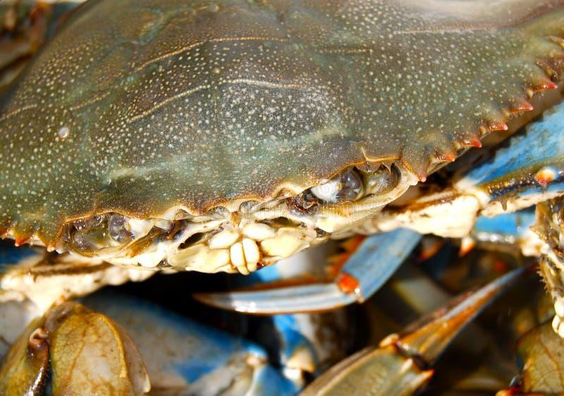 Cara del cangrejo azul - para arriba - cercana imagen de archivo libre de regalías