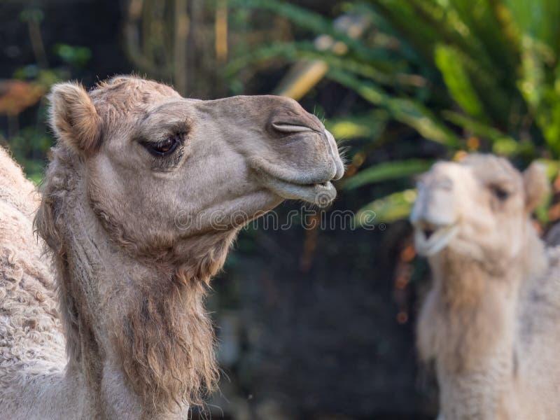 Cara del dromedarius del Camelus del camello árabe o del dromedario el más alto de las tres especies de camello imagen de archivo libre de regalías