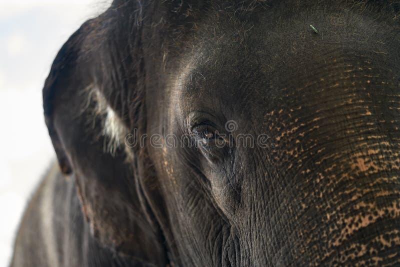 Cara del elefante asiático fotografía de archivo