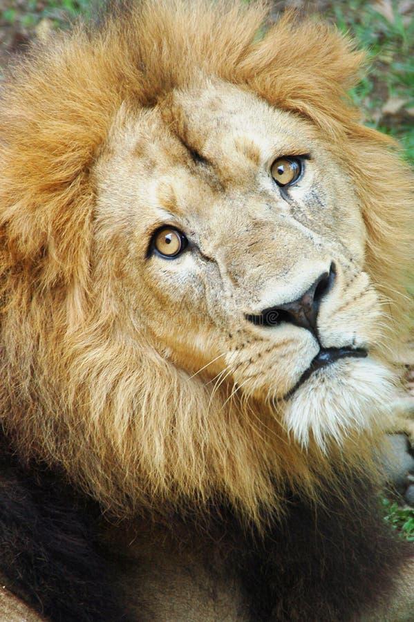 Cara del león imagen de archivo