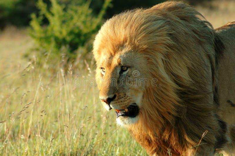 Cara del león imagen de archivo libre de regalías