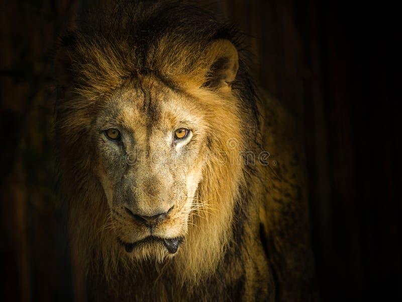 cara del león masculino imagen de archivo
