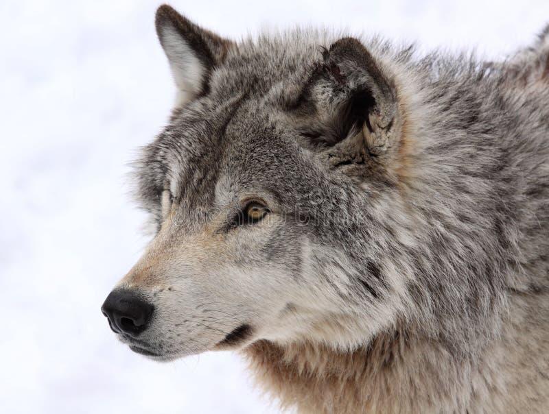 Cara del lobo fotografía de archivo