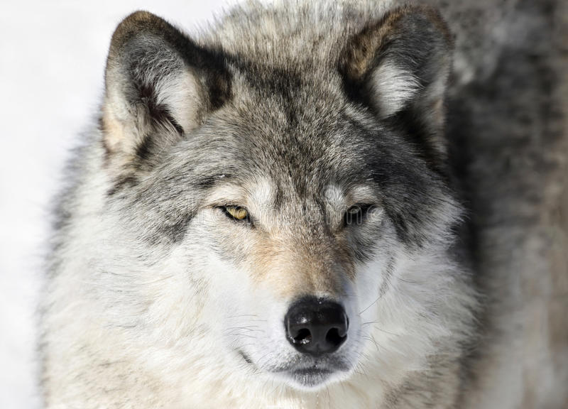Cara del lobo salvaje fotografía de archivo libre de regalías