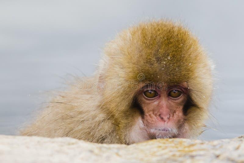 Cara del mono de la nieve del bebé, primer foto de archivo