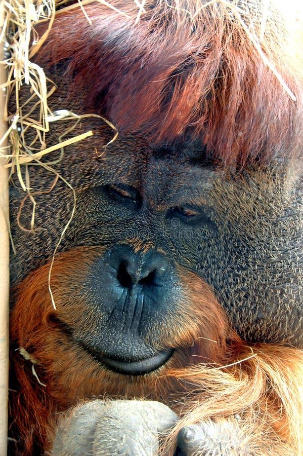 Cara del orangután fotografía de archivo
