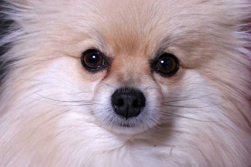 Cara del perrito fotografía de archivo libre de regalías