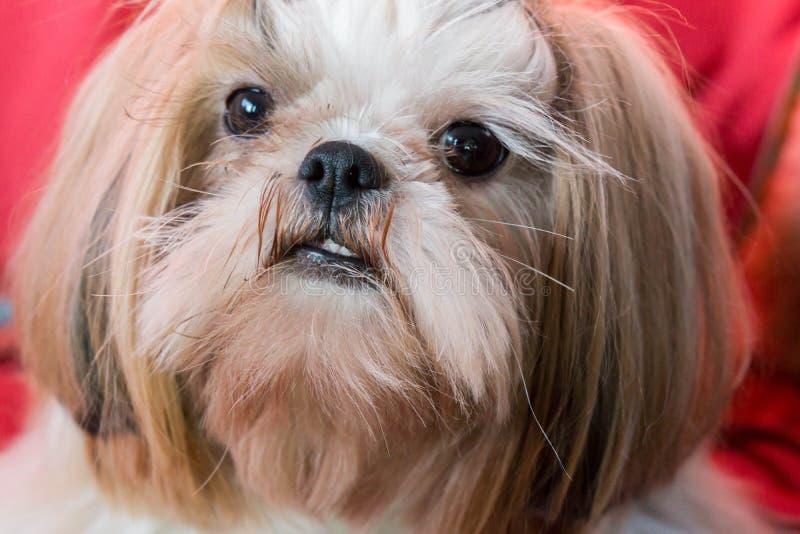 Cara del perro del tzu de Shih imágenes de archivo libres de regalías