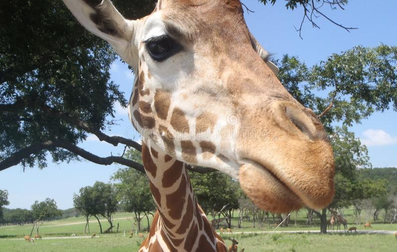 Cara del primer de la jirafa el día soleado fotografía de archivo