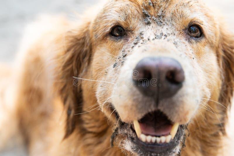 Cara del primer del perro del golden retriever fotografía de archivo