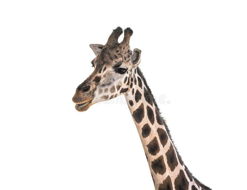 Cara del ` s de la jirafa aislada fotografía de archivo libre de regalías