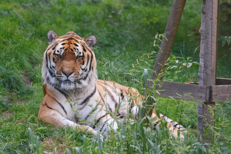 Cara del tigre imagen de archivo