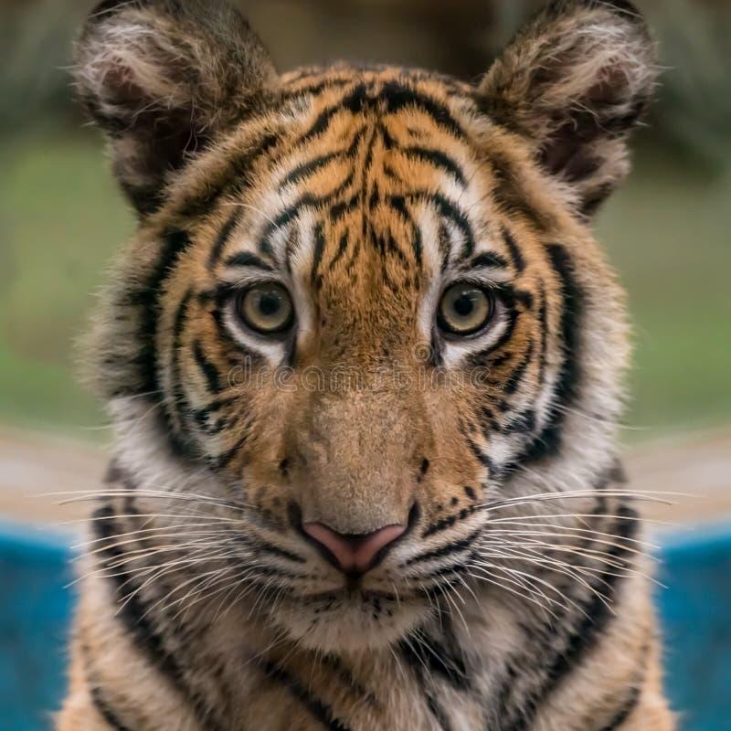 Cara del tigre de Bengala imagen de archivo libre de regalías