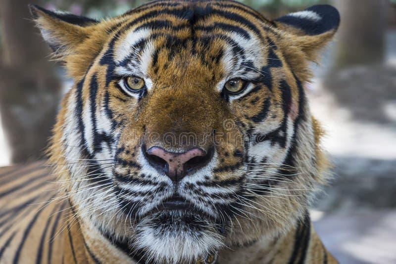 Cara del tigre de Bengala y primer salvajes de los ojos imagen de archivo