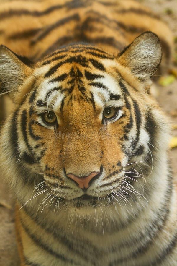 cara del tigre siberiano en la selva fotografía de archivo libre de regalías