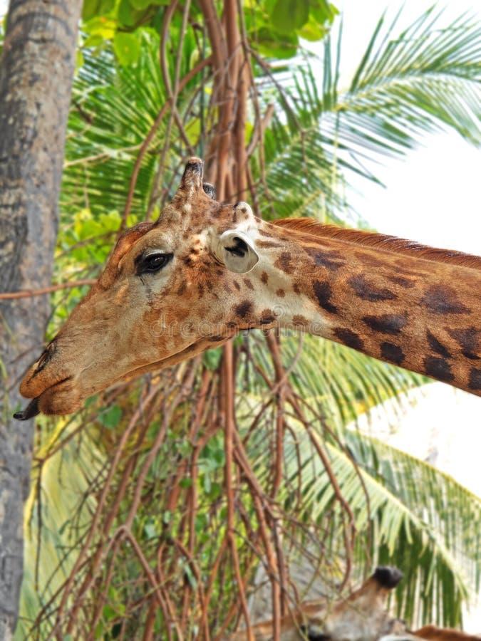 Cara divertida de la jirafa que pega hacia fuera la lengua aislada en la naturaleza Backgr fotografía de archivo libre de regalías