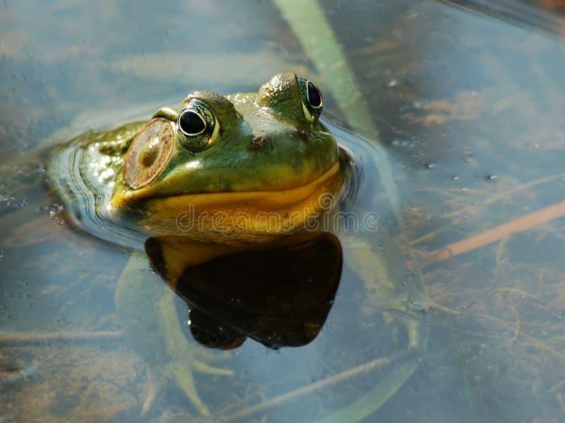 Cara divertida de la rana con el espacio de la copia fotografía de archivo