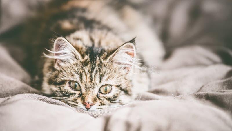Cara divertida de un gato siberiano mullido joven imágenes de archivo libres de regalías