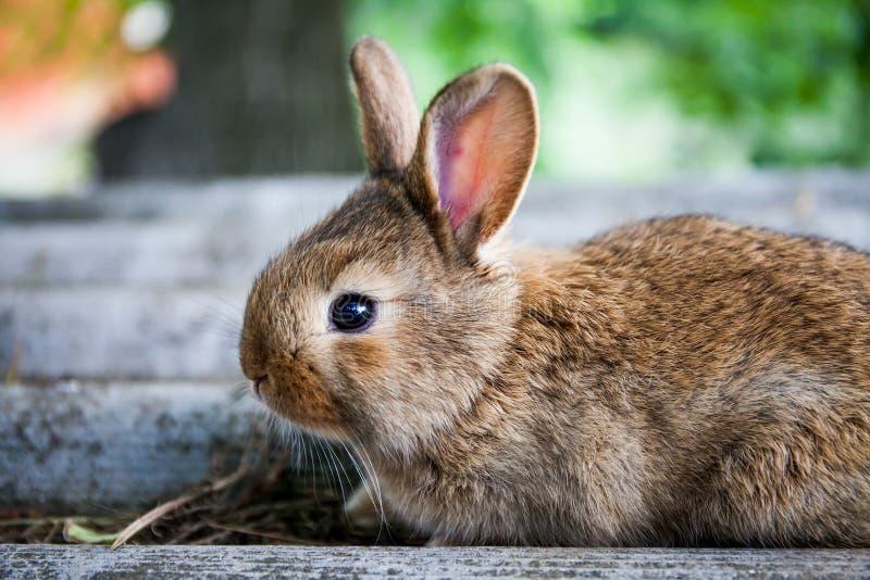 Cara divertida del pequeño conejo lindo, conejito marrón mullido en fondo de piedra gris Foco suave, profundidad del campo baja imágenes de archivo libres de regalías