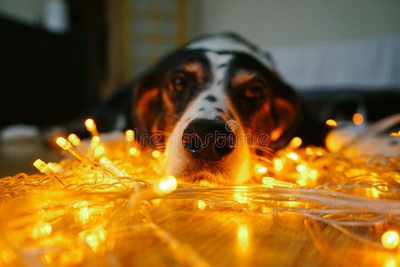Cara divertida del perro con las luces de la Navidad foto de archivo