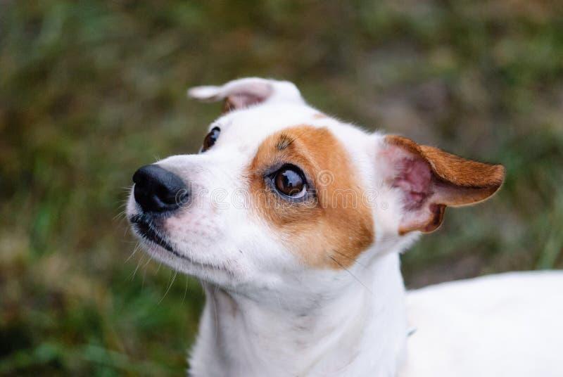 Cara do cão de Jack Russell Terrier com pedido da expressão fotografia de stock
