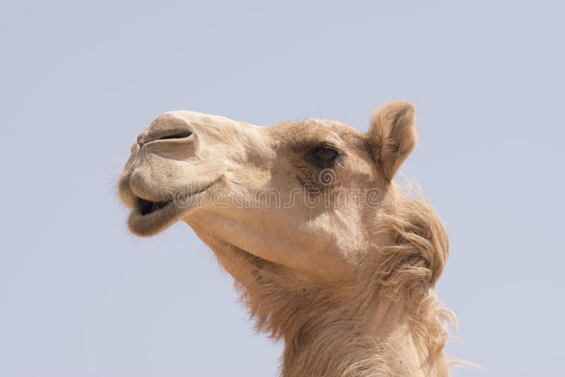 Cara do camelo imagem de stock royalty free