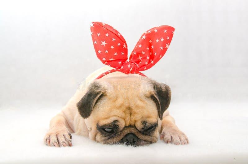 Cara do close-up do pug bonito do cachorrinho do cão com resto do sono da orelha de coelho do coelho no algodão no fundo branco fotos de stock royalty free