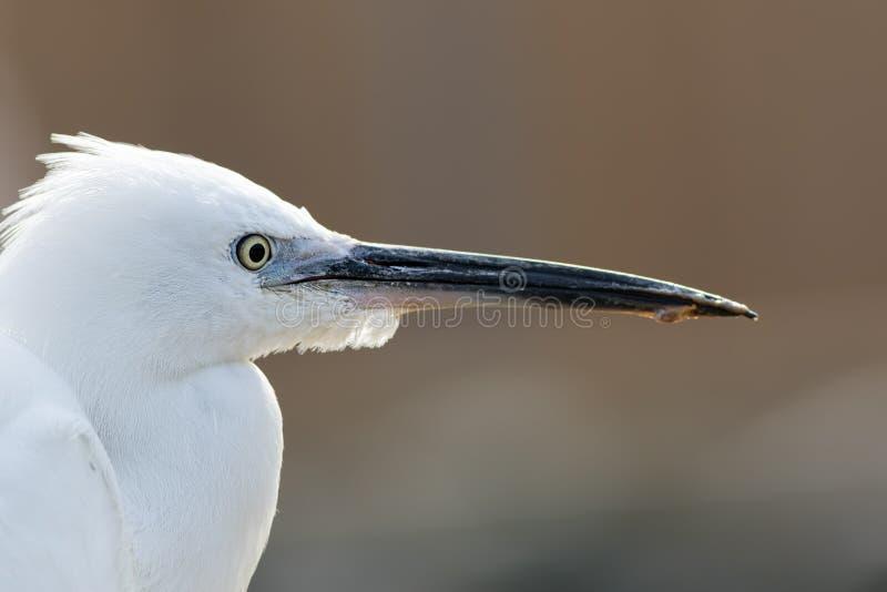 Cara do egret pequeno no perfil Feche acima da cabeça branca do pássaro vadeando imagens de stock royalty free