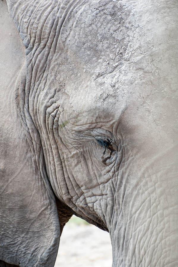 Cara do elefante foto de stock