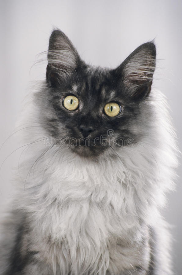 Cara do gato de Maine Coon foto de stock royalty free