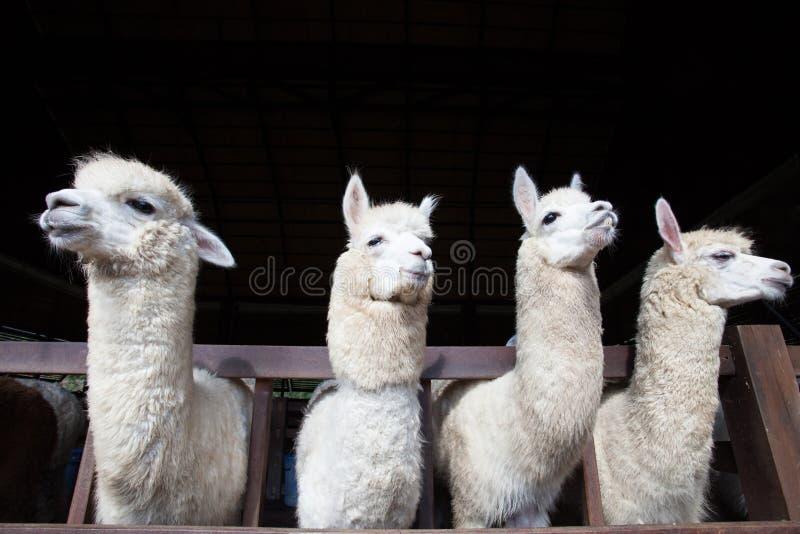 Cara do lama engraçado de quatro alpacas na exploração agrícola foto de stock royalty free