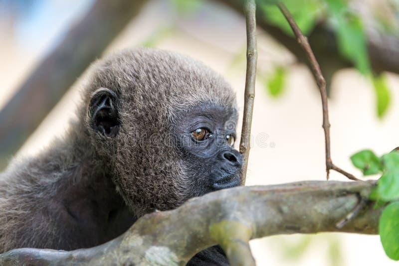 Cara do macaco felpudo fotografia de stock royalty free