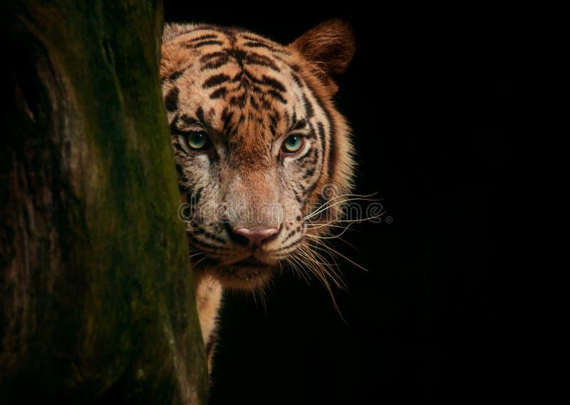 A cara do tigre eyes procurando a caça contra o fundo preto imagem de stock royalty free