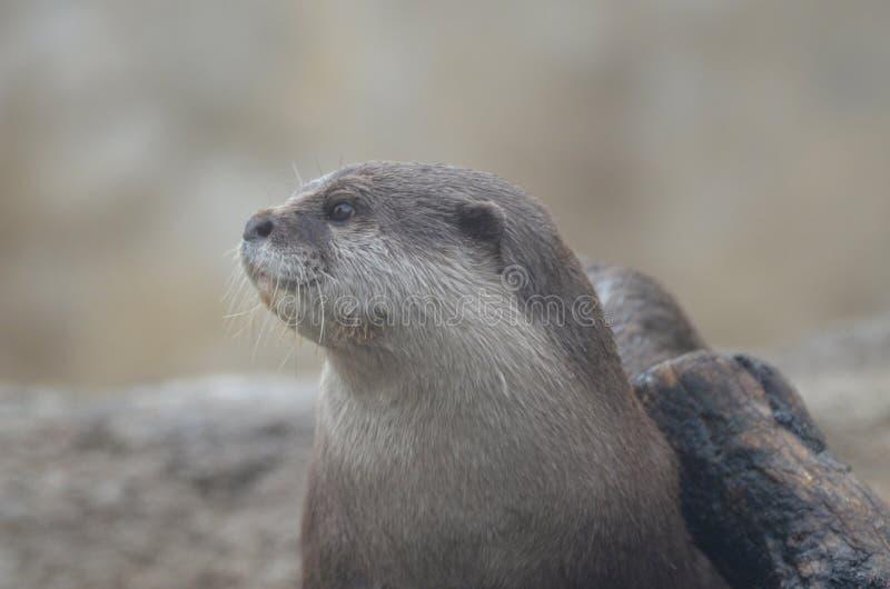 Cara doce bonita de uma lontra de rio molhada foto de stock