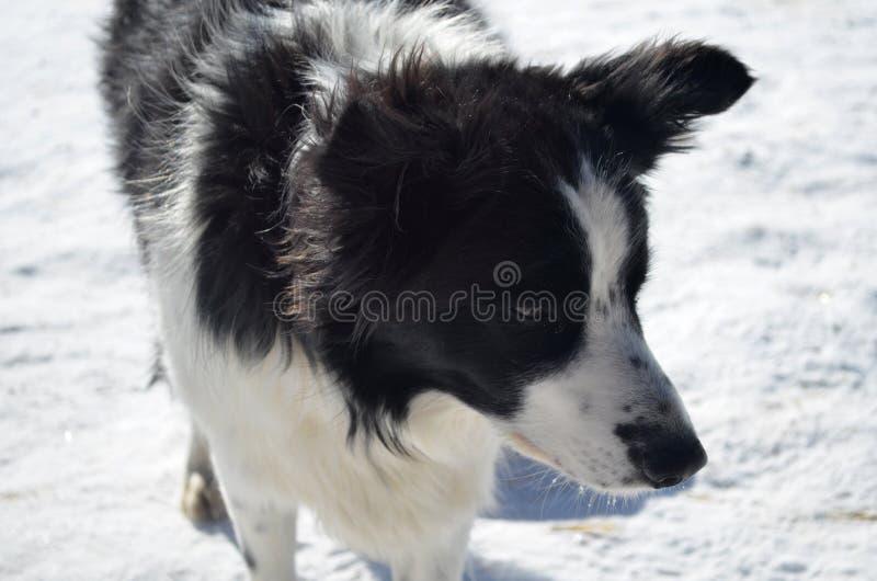 Cara dulce de un border collie en el invierno imágenes de archivo libres de regalías